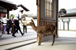sika deer in Hiroshima, Japan (Photo: Marco Barbieri, Creative Commons license)