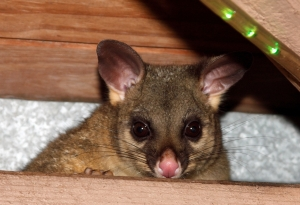 attic brushtail (Photo: play4smee, Creative Commons license)