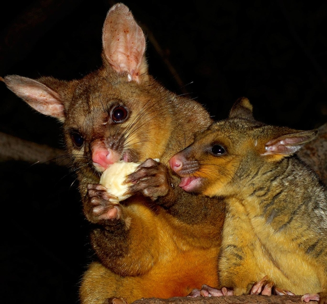 brushtail mother and child (Photo: mugley, Creative Commons license)
