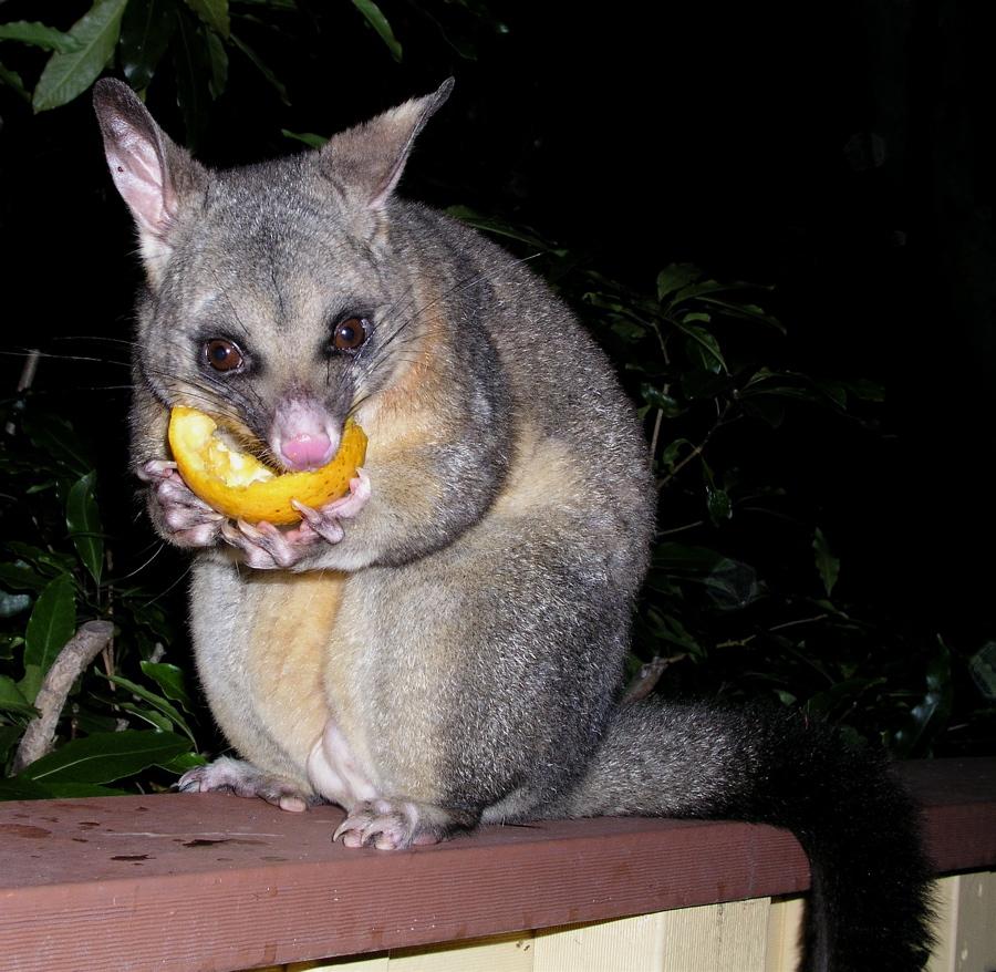 Common Brushtail Possum Next Door Nature