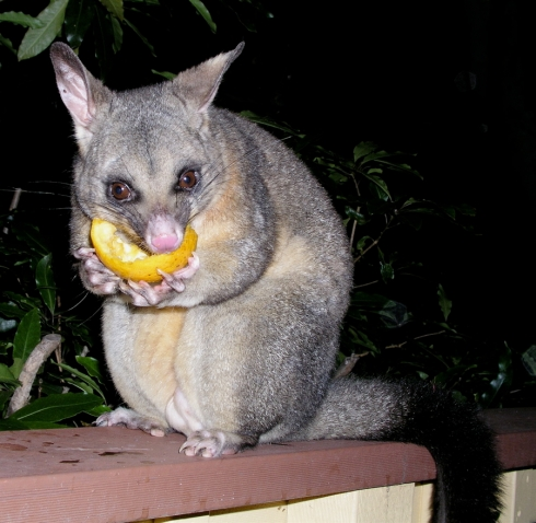 common brushtail possum (Photo: David Midgley, Creative Commons license)