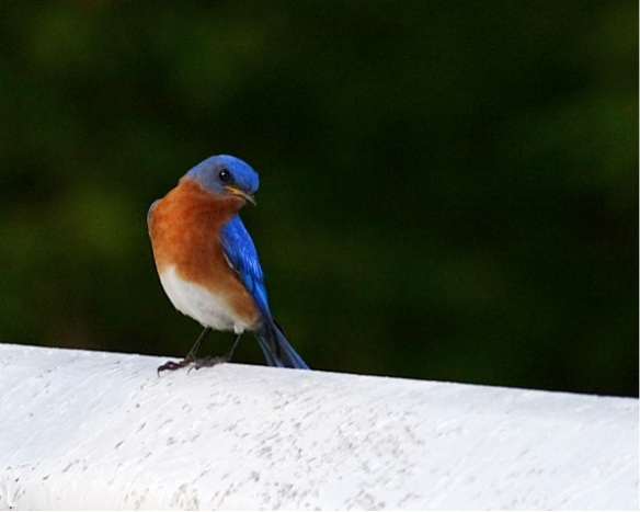eastern bluebird 2 by Jason Matthews, Creative Commons license