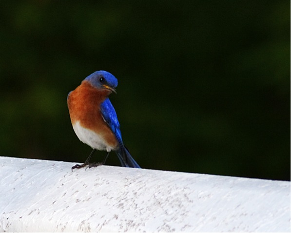 eastern bluebird 2 by Jason Matthews, Creative Commons license