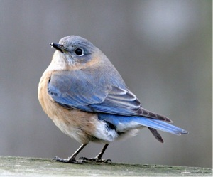 female eastern bluebird by Patrick Coin, Creative Commons license