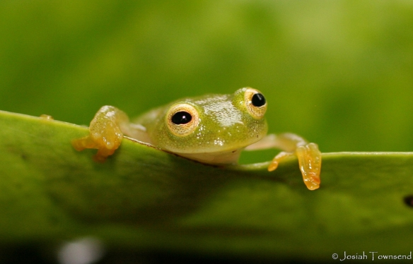 glass frog (Photo: Josiah Townsend, Creative Commons license)