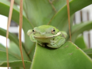 green treefrog (Photo: sarowen, Creative Commons license)
