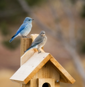 mountain bluebird pair (Photo: freeopinions, creative commons license)