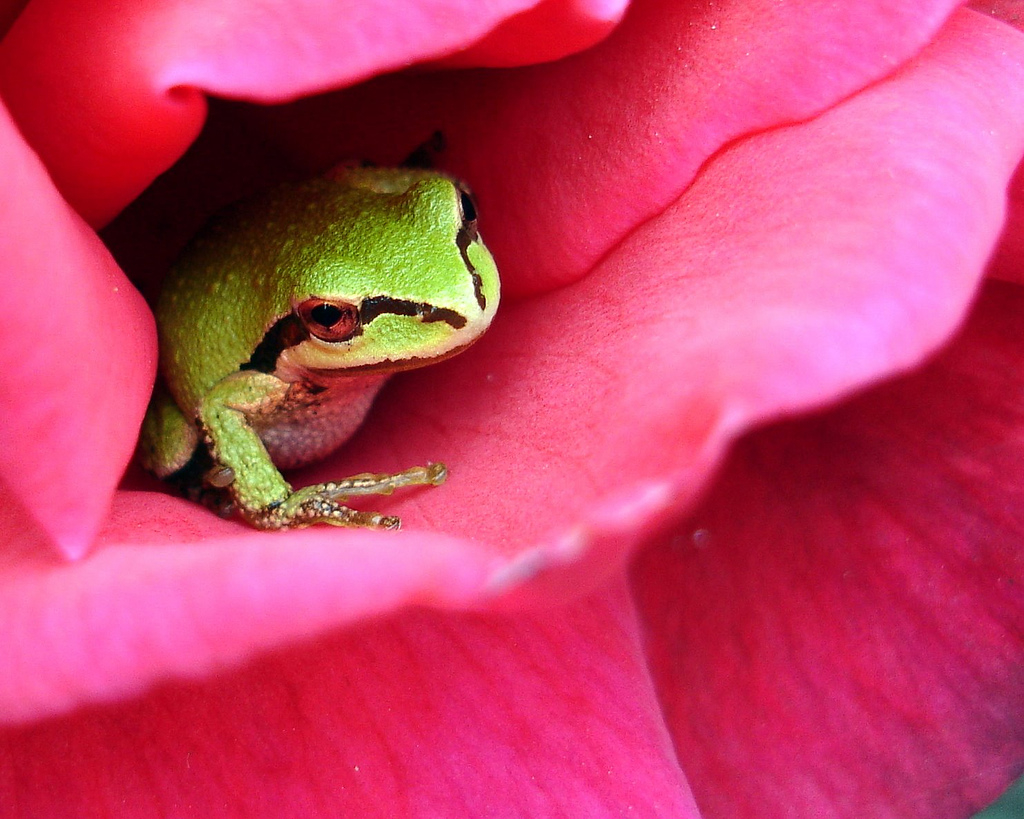 pacific tree frog (photo: jacki dougan, creative commons license)