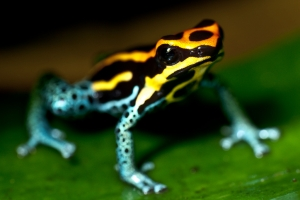Poison Dart Frog Sitting on a Leaf (Photo: MoleSon2, Creative Commons license)