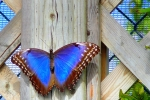 next-door nature, street creatures, blue morpho butterfly