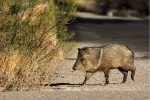 next-door nature, urban wildlife, javelina, collared peccary