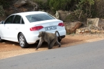 next-door nature, baboon, south africa, parking lot
