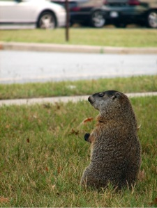 wildlife and roads, wildlife watching, groundhog