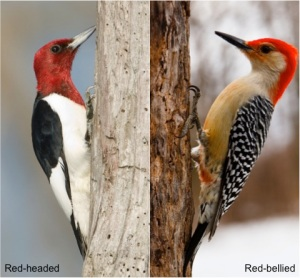 Image result for red headed vs red bellied woodpecker
