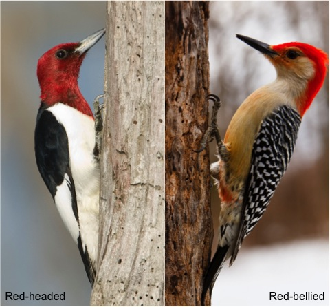 red-headed vs. red-bellied woodpeckers by Laura Gooch and Jason Paluck, respectively (Creative Commons license)