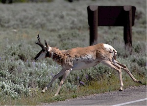 wildlife and roads, wildlife watching, pronghorn