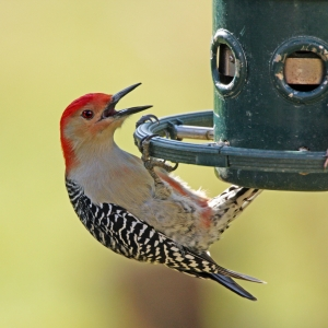 red-bellied woodpecker at feeder (Photo: ehpien, Creative Commons license)