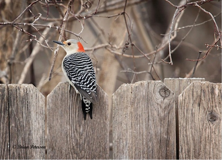 red-bellied woodpecker on fence (Photo: Brian Peterson, Creative Commons license)