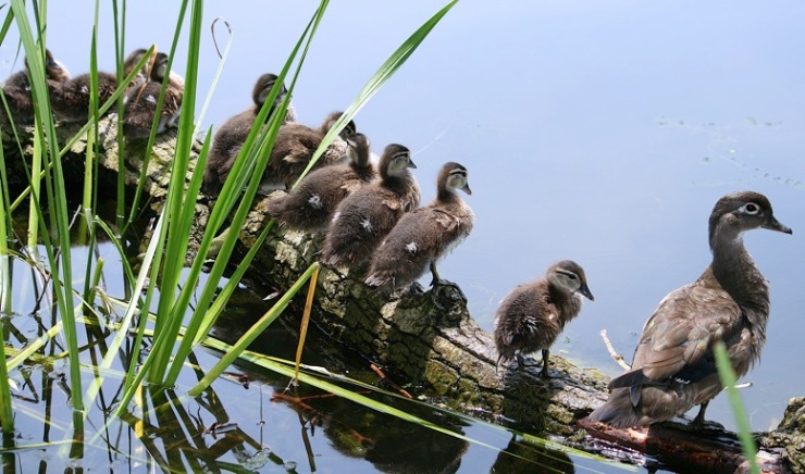 wood duck hen and ducklings by Ducklover Bonnie, Creative Commons license
