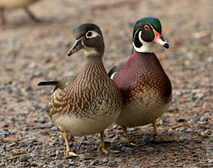 wood duck pair by Rick Leche, Creative Commons license