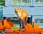 next-door nature, urban wildlife, suburban wildlife, red fox, toronto, canada