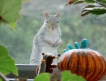 next-door nature, gray squirrel, urban wildlife, suburban wildlife