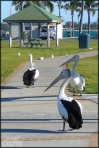 next-door nature, urban wildlife, australia, pelicans