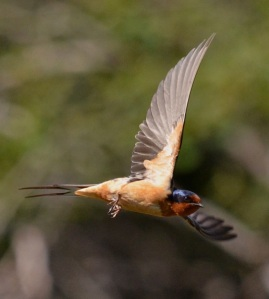 next-door nature, urban wildlife, suburban wildlife, barn swallow