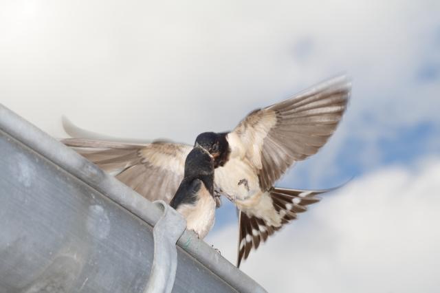 next-door nature, urban wildlife, suburban wildlife, barn swallow