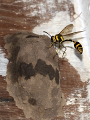 next-door nature, wasps, mud dauber