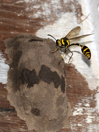 next-door nature, wasps, mud dauber
