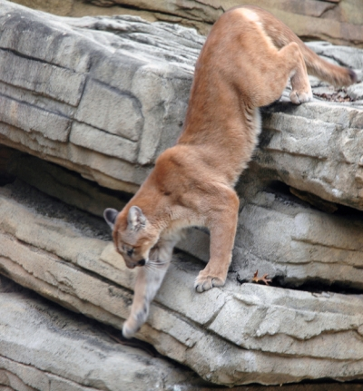 next-door nature, cougar, mountain lion, dispersal, historic range, midwest