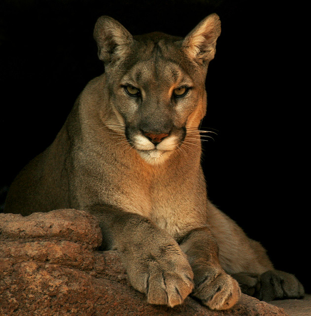 next-door nature, mountain lion, cougar, dispersal, Midwest