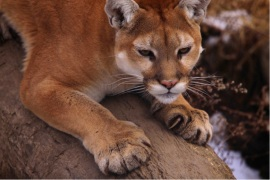 next-door nature, cougar, mountain lion, dispersal, midwest