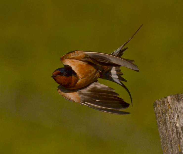 next-door nature, urban wildlife, suburban wildlife, barn swallows