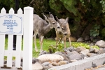 Next-Door Nature, mule deer, backyard wildlife, urban wildlife