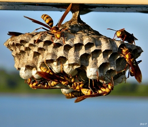 next-door nature, wasp, paper wasp, wasp nest