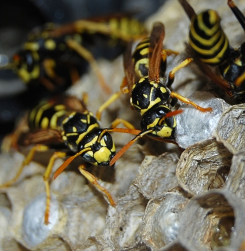 next-door nature, urban wildlife, wasps, yellowjackets