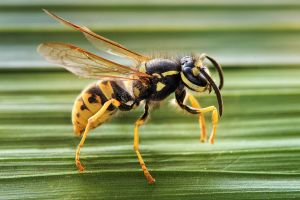 next-door nature, wasp, yellowjacket