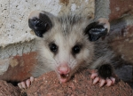 next-door nature, urban wildlife, backyard wildlife, opossum