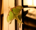 Next-Door Nature, urban wildlife, watchable wildlife, luna moth