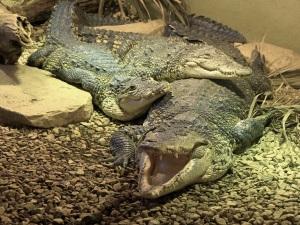 next-door nature, urban wildlife, crocodiles