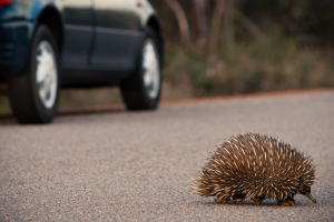 next-door nature, urban wildlife, echidna