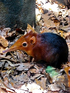 next-door nature, urban wildlife, elephant shrew