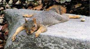 next-door nature, urban wildlife, fox squirrel