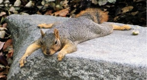 next-door nature, urban wildlife, fox squirrel