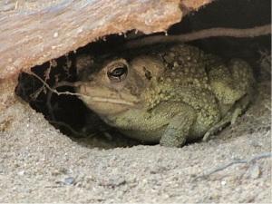 next-door nature, urban wildlife, gray treefrog