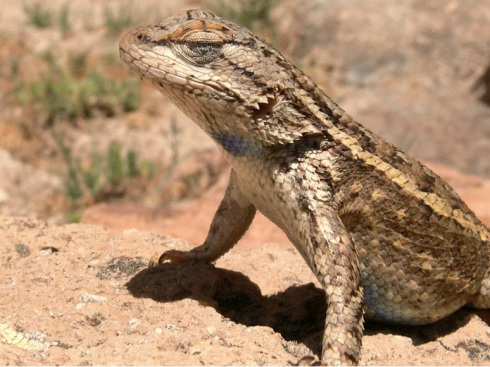 next-door nature, urban wildlife, fence lizard