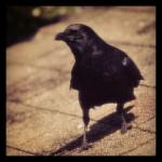 Next-Door Nature, backyard wildlife, urban wildlife, corvid, crow, Portland, Oregon