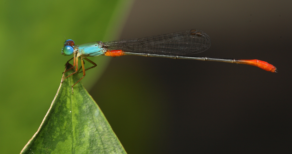damsel fly at rest, Next-Door Nature, urban wildlife